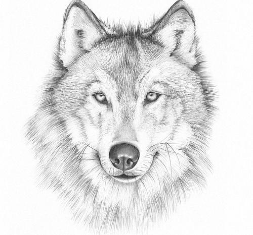 Волк рисунок