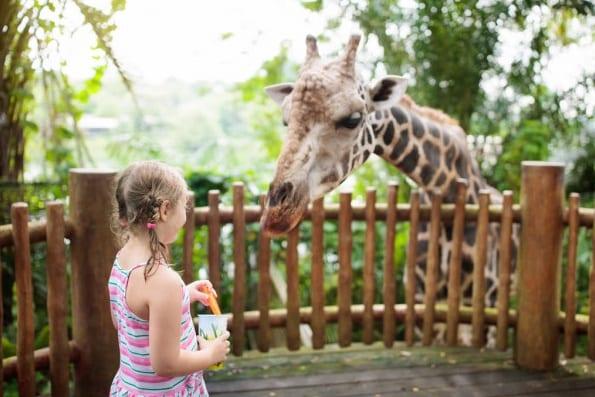 Фото девочка кормит жирафа